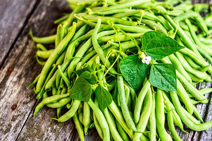 Green Bean Care And Growing Guide