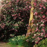 Camellia Sasanqua Trees: The Ultimate Backyard Gardener's Guide