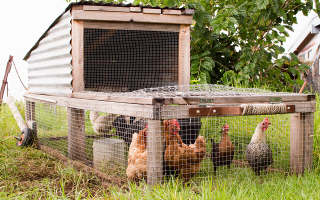 Chicken Tractor Vs. Chicken Coop: Which is Best for You?