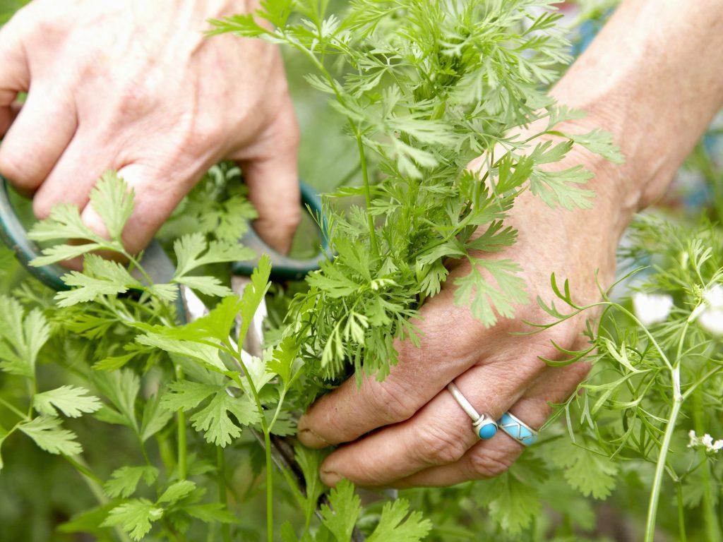 Cilantro Harvesting