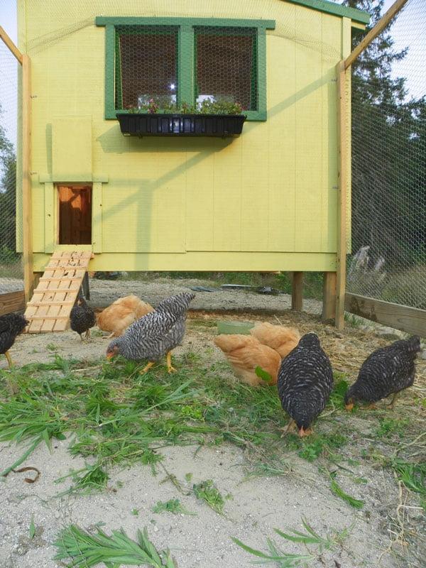 Plain Lean-To-Coop Chicken Coop