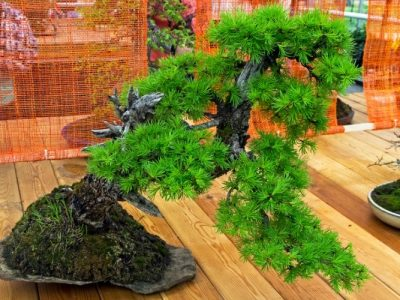 Guide for Growing and Caring Larch Bonsai