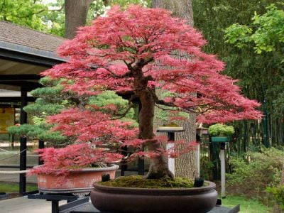 Pink Bonsai Trees