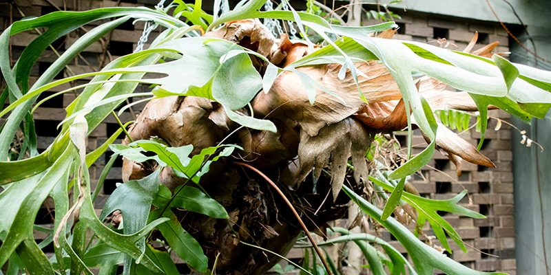 Staghorn Fern: How to Take Care and Mount Your Platy cerium