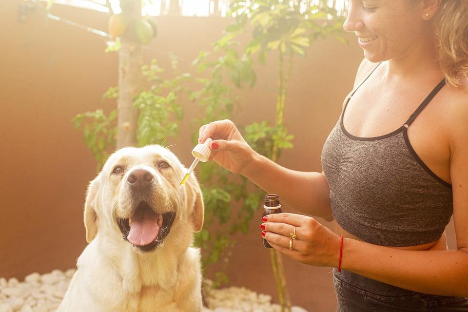 Cbd Oil, Dog, Pet, Hemp Oil, Labrador, Lab, Girl