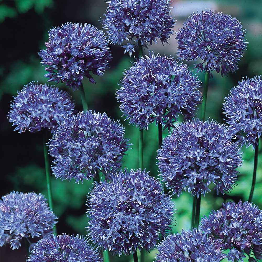 Blue Allium