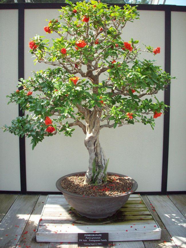 Dwarf Pomegranate Bonsai Tree