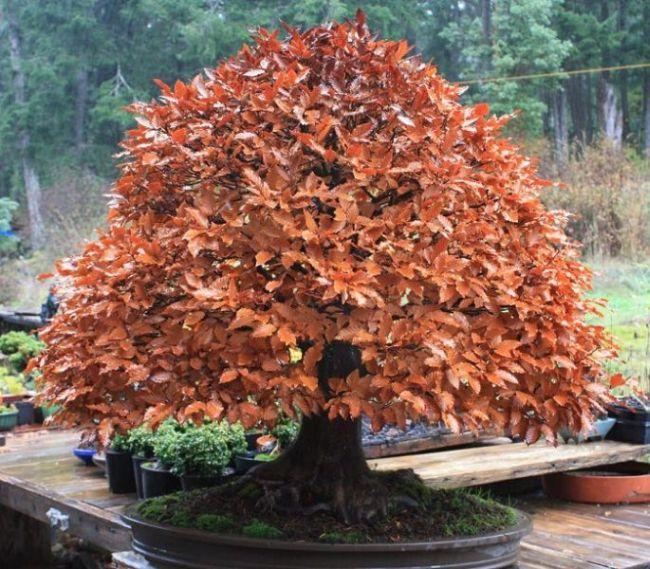 Wisteria Bonsai Tree