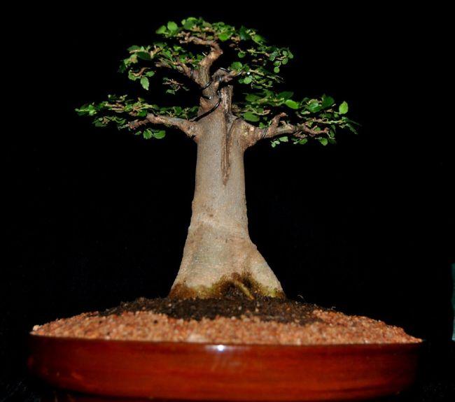 Baobab Bonsai Tree