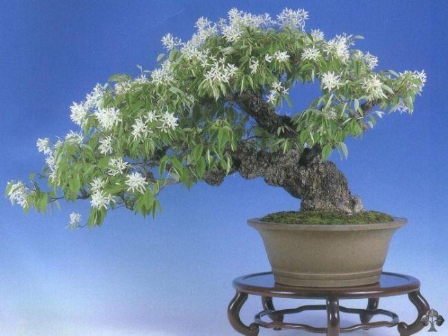 Magnolia Stellata Bonsai Tree