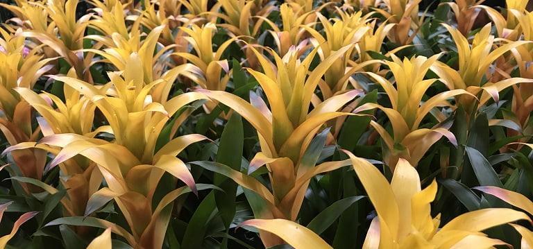 Bromeliad Guide: How to Care for Bromeliad House Plants