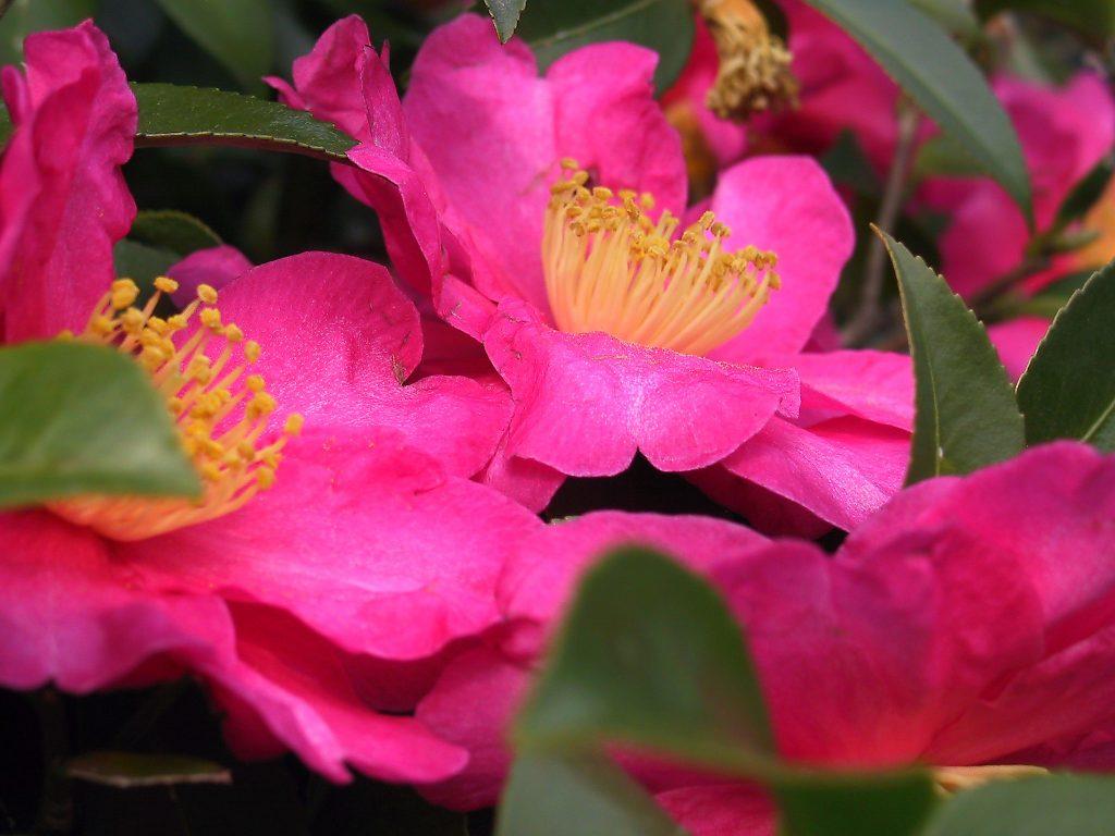Camellia Sasanqua Plant