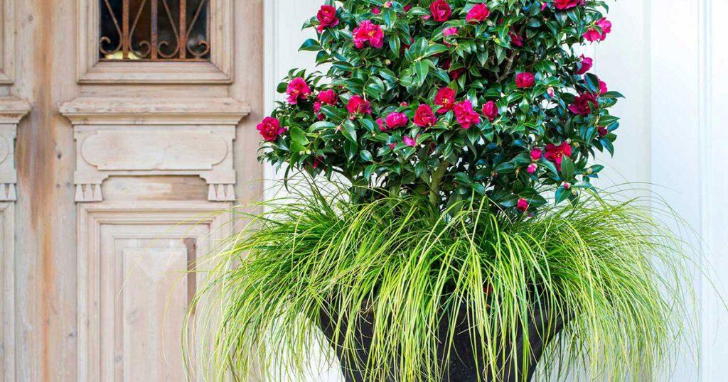 Camellia Sasanqua in Containers