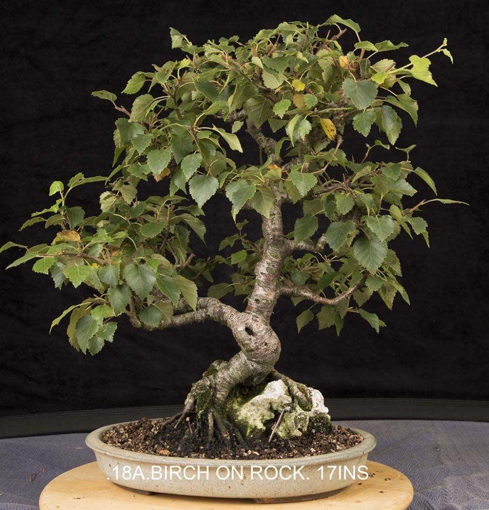 Celtic Bonsai Tree