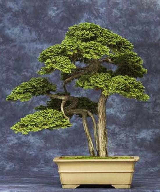 Cypress in Modern Pot