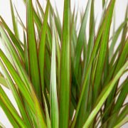 Dracaena Guide: How to Take Care of a Dracaena Plant