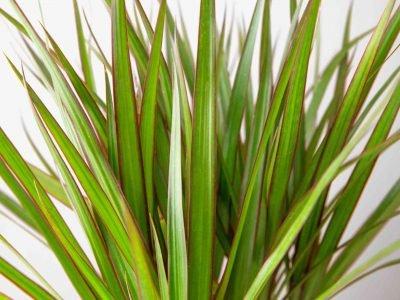 Dracaena Guide: How to Take Care of a Dracaena Plant