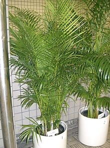 Dypsis Lutescens Butterfly Palm