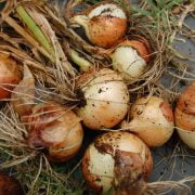 How to Plant and Store Bulbs? A Step by Step Comprehensive Guide