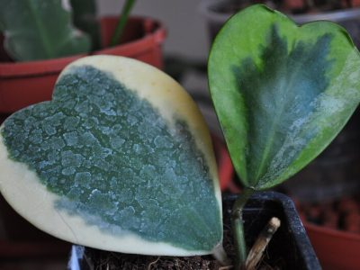 Hoya Kerrii Guide: How to Take Care of a Hoya Kerrii Plant