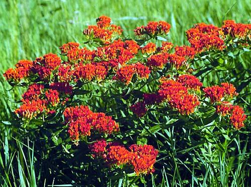 Red Milkweeds
