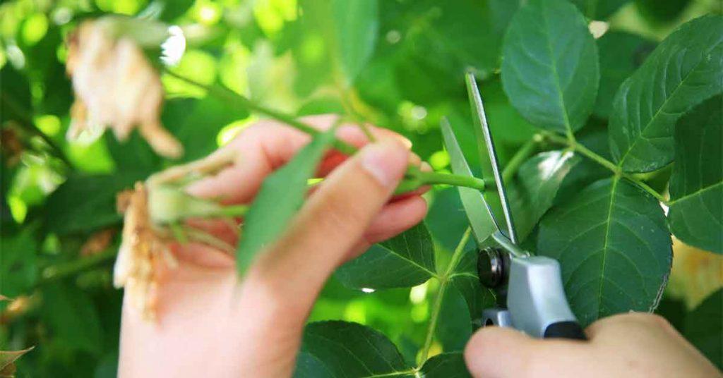 Stem Cutting Plants