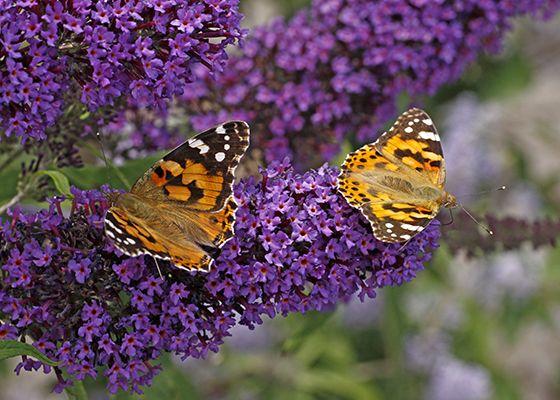 Purple Bursts