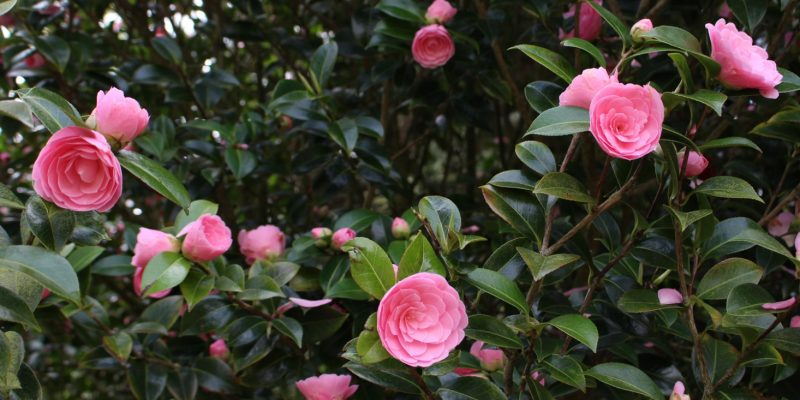 10 Camellias That You Can Grow in Your Garden