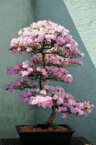 Beautiful Azalea