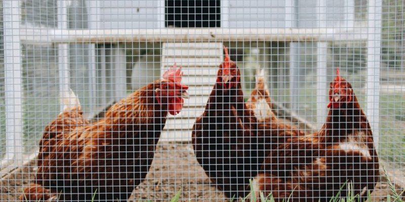 Best Floor for a Chicken Coop