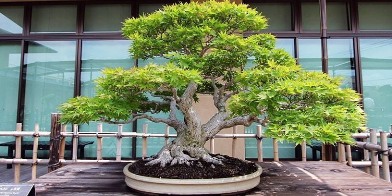 Everything You Need to know about Japanese Bonsais Trees