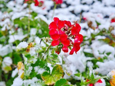 Geraniums in Winter
