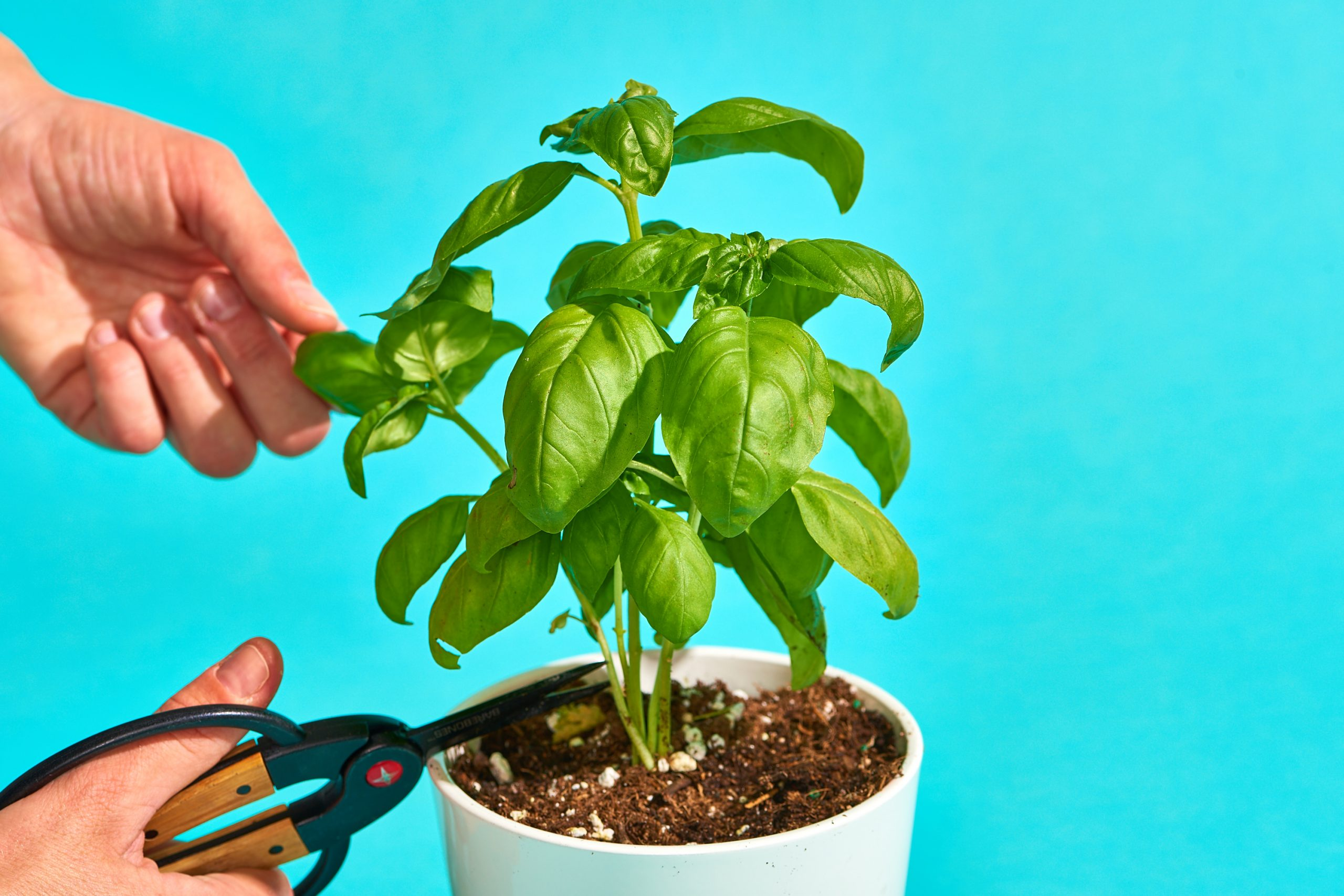Give Your Basil Plant Enough Care
