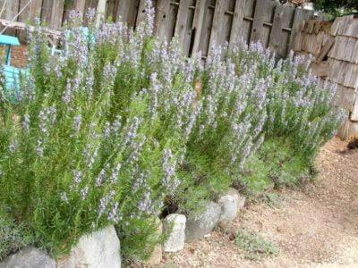 Grow Rosemary
