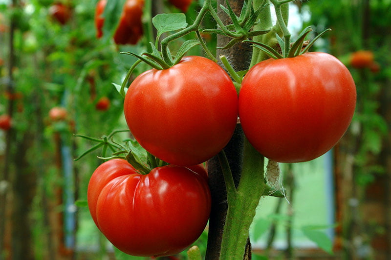 Growing Tomatoes Tricky