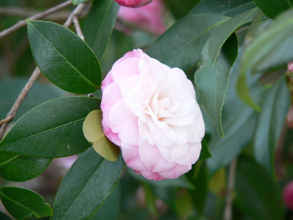 Guide for Pruning Camellias
