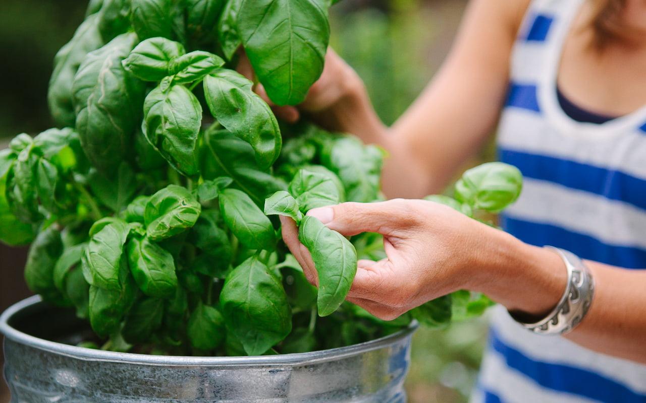 Harvest Your Basil