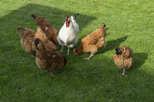 Hens Per Rooster