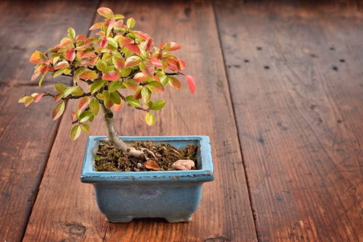 How Can You Maintain Your Cotoneaster Bonsai
