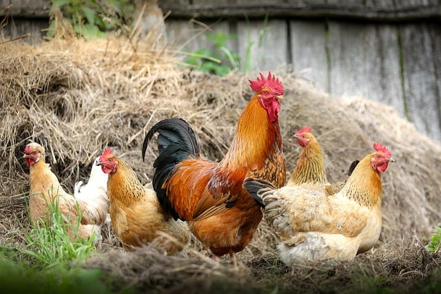 How Many Hens Per Rooster