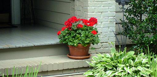 How to store Geraniums in winters?