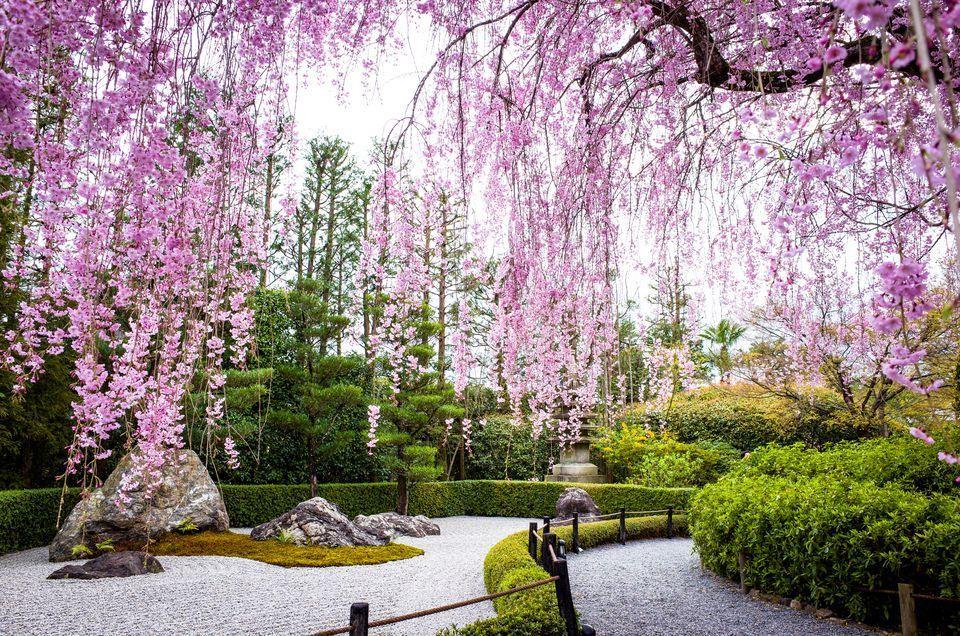 Japanese Garden Cherry Plants