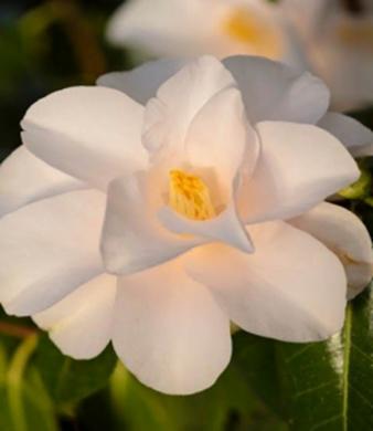 Japonica Hagoromo Camellia
