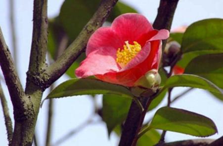 Japonica Korean Fire Camellia