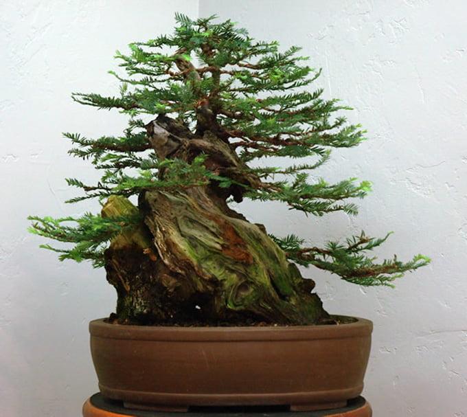 Sequoia Bonsai Plant