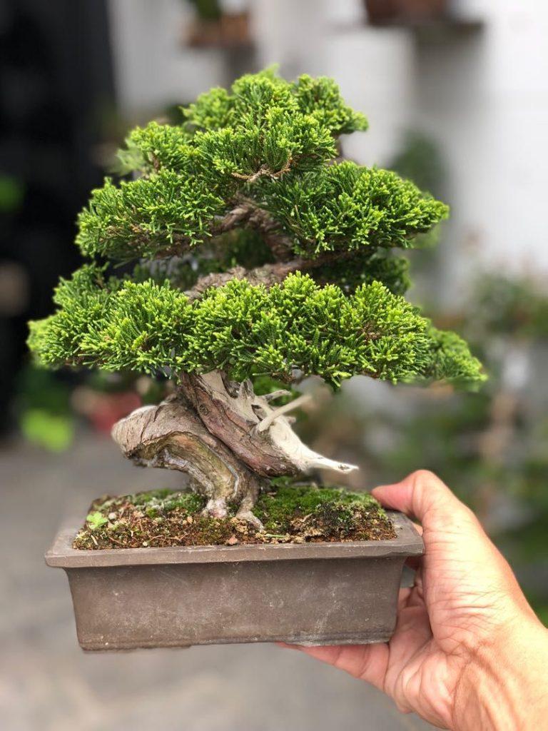 Shimpaku Bonsai