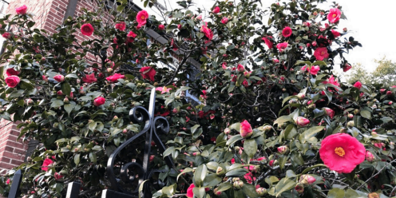 The Best and Most Effective Guide for Pruning Camellias