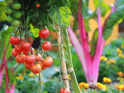 Tips on How You Can Grow Your Tomatoes