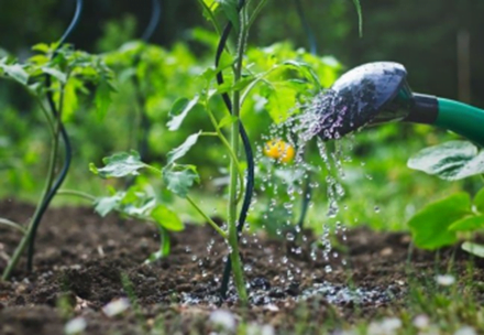 Watering Tomato