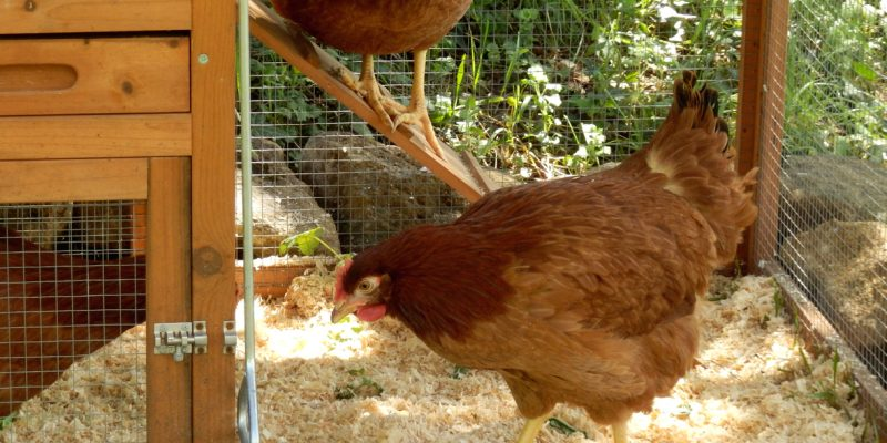 What to Put on the Floor of a Chicken Coop?